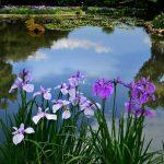 緑水苑賞:花菖蒲葺く 撮影:渡辺勝雄